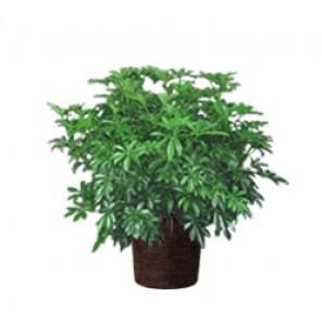 Arboricola Bush - PF06